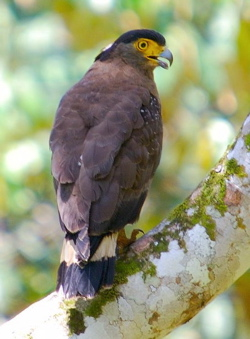 Crested Serpent Eagle: Snakes alive