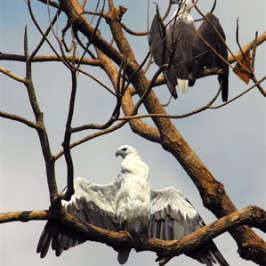 White-bellied Sea Eagle sunbathing