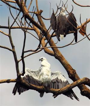 White-bellied Sea Eagle sunbathing