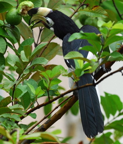 Oriental Pied Hornbill: Guava