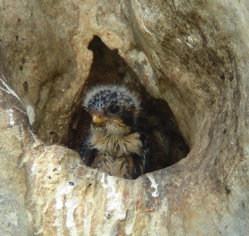 Black-thighed Falconet: Mating and nesting rituals