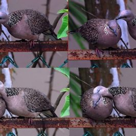 Spotted Dove: Courtship?