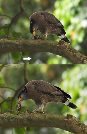 Crested Serpent Eagle: Toad feast