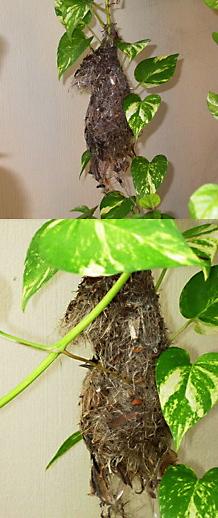 Olive-backed Sunbird: Nesting misadventure