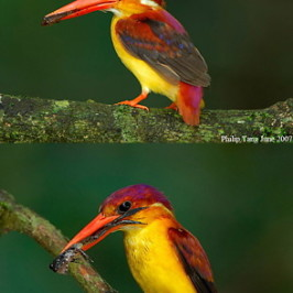 Black-backed, Rufous-backed or Oriental Dwarf Kingfisher?
