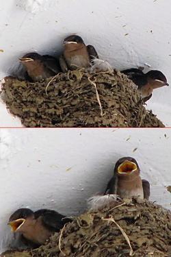 Pacific Swallow: Nesting