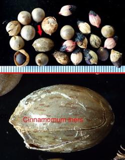 Forensic birding: Cinnamomum iners