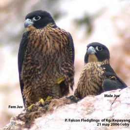 Observations on nesting of Peregrine Falcon in Perak, Malaysia