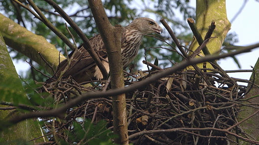 Changeable Hawk Eagle: Nesting observations