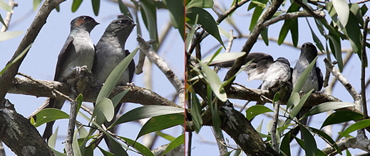 Nesting of Grey-rumped Treeswift