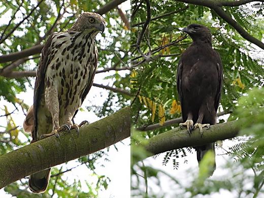 Portrait of an eagle: Changeable Hawk Eagle