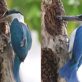 Nesting of Collared Kingfisher