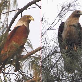 Brahminy Kite: Nesting observations