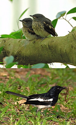 Oriental Magpie Robin: Distraction tactic