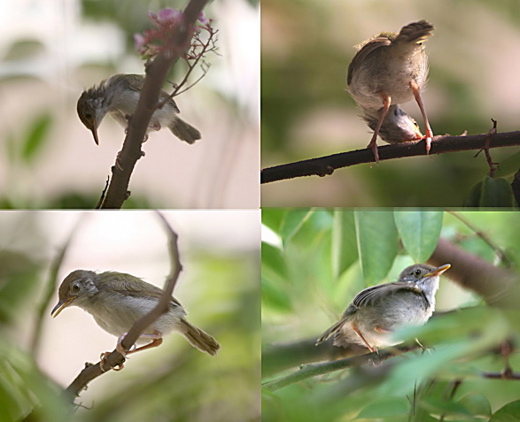 A family of Common Tailorbirds