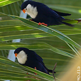 Blue Lorikeet or Nunbird