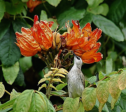 African Tulip: Bulbul collecting nectar
