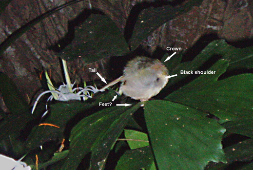What does a tailorbird do at night?