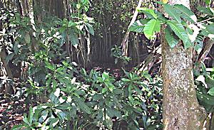 The elusive mangrove pitta