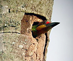 """Hole-in-One"" Barbet"