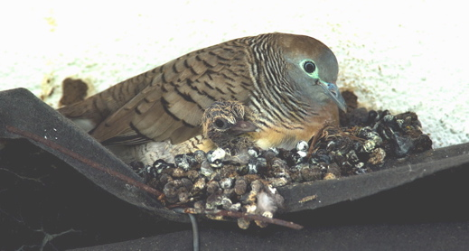 Peaceful Dove: A filthy nest