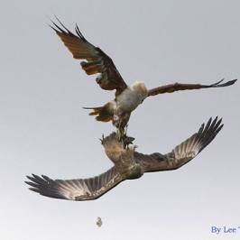 Brahminy Kite: Competition for food