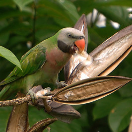Red-breasted Parakeet and African Tulip seeds
