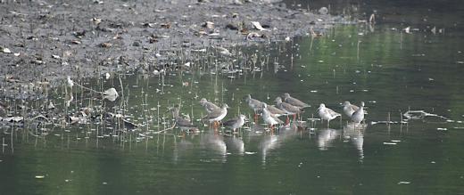 Sungei Buloh Wetland Reserve: Bird population