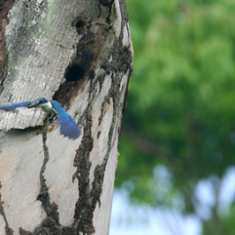 Collared Kingfisher: Protective instinct