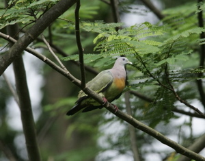 Releasing a rehabilitated Pink-necked Green Pigeon