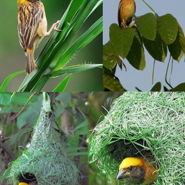 Baya Weaver: Nest building, hornets and poaching