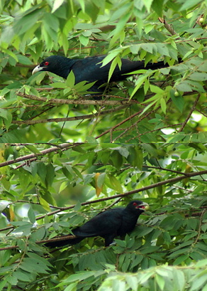Asian Koel eating Indian cherry