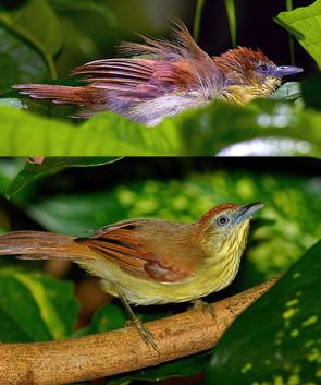 Leaf bathing: Striped Tit Babbler