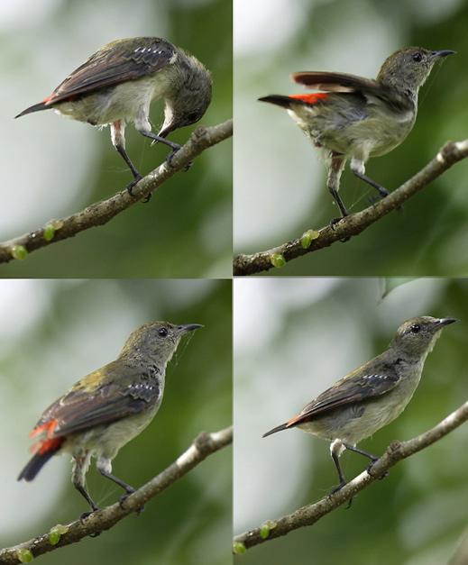 Flowerpecker excreting mistletoe seeds