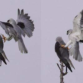 Black-shouldered Kite: Mating