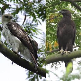 Changeable Hawk Eagle: Pale x dark morph