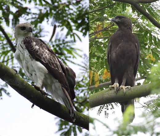Changeable Hawk Eagle: Pale x dark morph