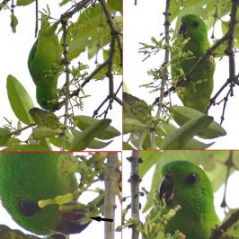 Hanging Parrot: Pollinating mistletoe flowers