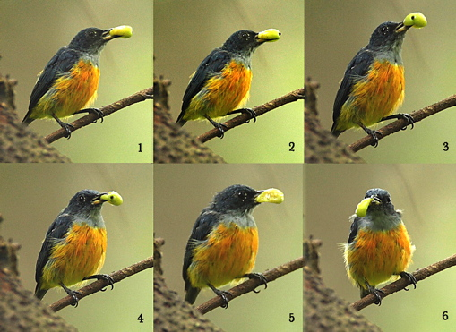 Orange-bellied Flowerpecker eating Indian cherry