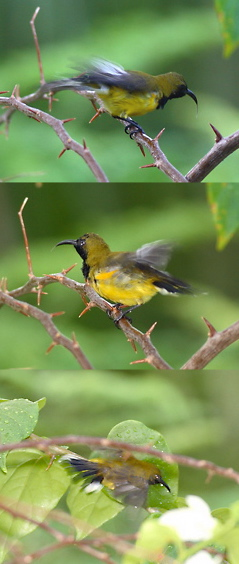 Olive-backed Sunbird: Enjoying the drizzle or courtship display?