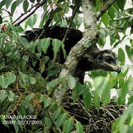 Black Eagle: First breeding record in Malaysia
