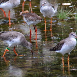 Sungei Buloh Wetland Reserve: Sighting of Common Redshank