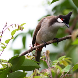 A feast of flowers: Bulbuls and starfruit