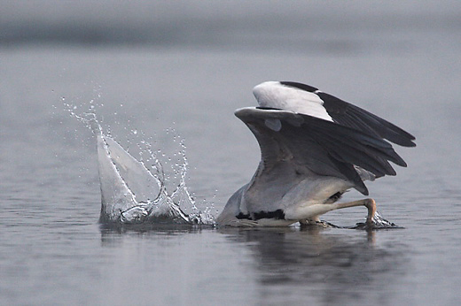 Grey Heron fishing: The one that didn't get away