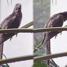 Asian Koel: First recorded begging-call mimicry
