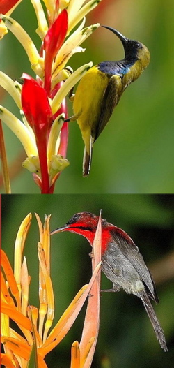 Heliconias and sunbirds