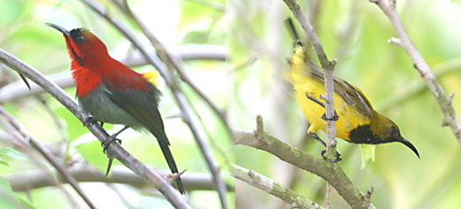 A confrontation between two male sunbirds