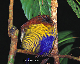 Sleeping Banded Pitta