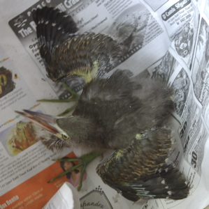 Little Heron chick: 1. Rescue and after