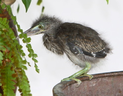 Little Heron chick: 2. Feeding